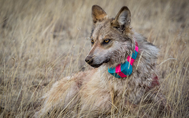 A bleeding wolf with a collar strapped around its neck.