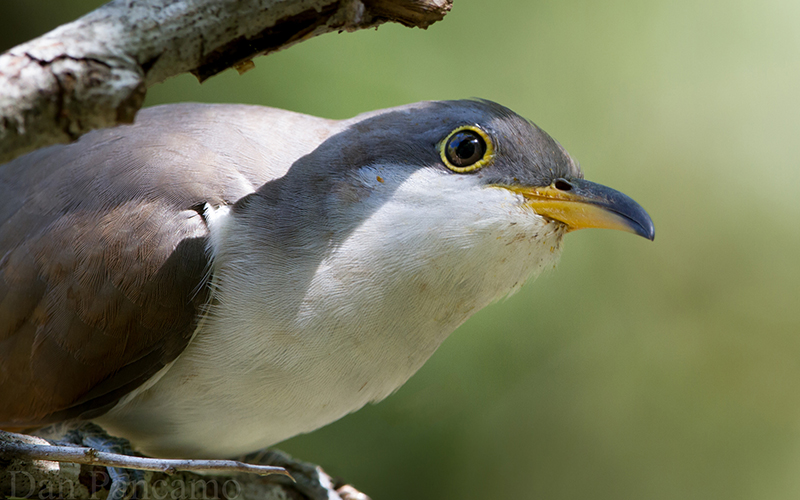 Yellow-billed cuckoo sits on tree branch.