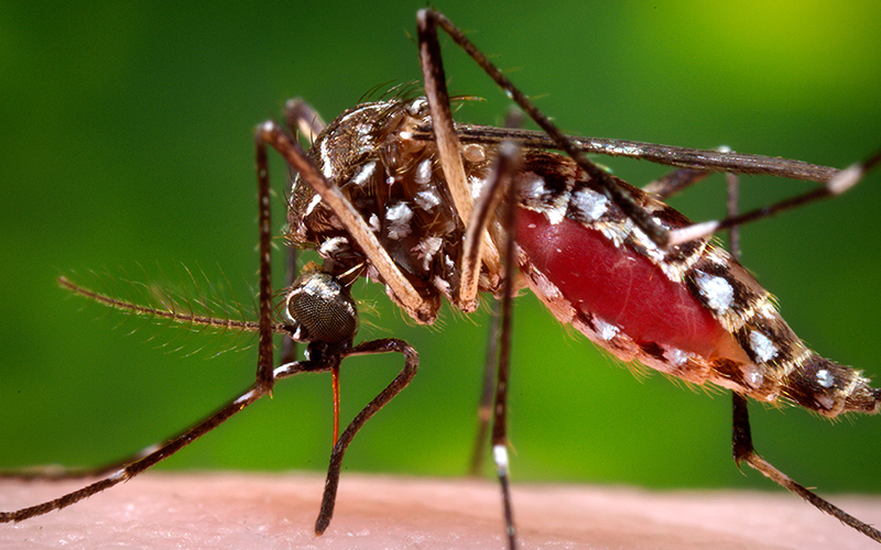 Female aedes mosquito about to get blood from a human host.