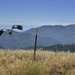 More endangered California condors soon will soar above Pinnacles National Park