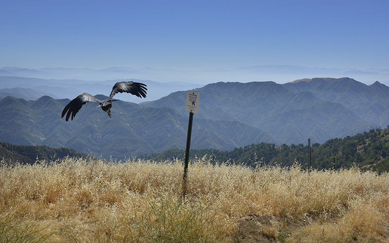 A California condor soars above the Los Padres National Forest.