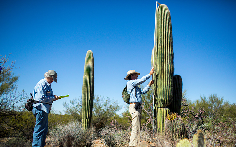 Two surveyors investigate saguaros cacti in the desert