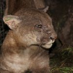 Biologists Suspect Rat Poison after Another Mountain Lion Contracts Rare Disease