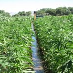 Arizona Farmers Can Legally Grow Industrial Hemp, But Will They Take the Risk?