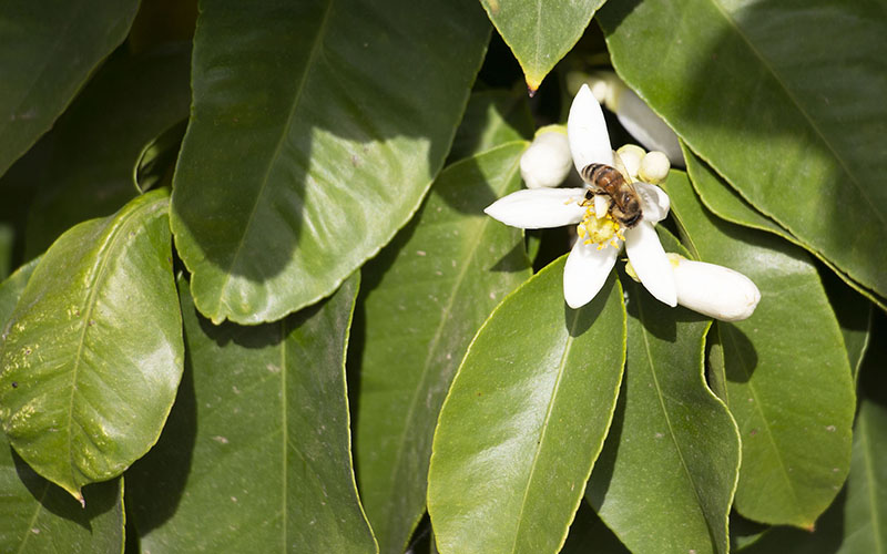 A bee resting on a citrus blossom at Justice Brothers farm