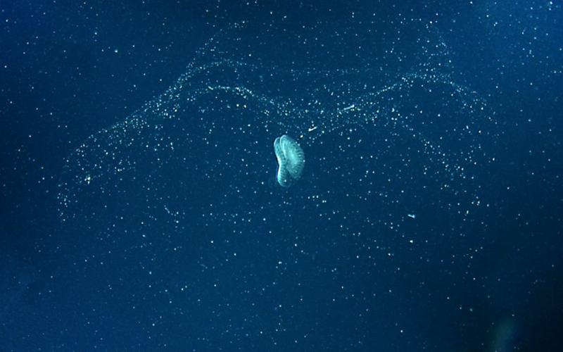 A small glowing jellyfish in Monterey Bay.