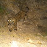 Big Cats, Cameras and Coexistence: Learning to Live with Jaguars