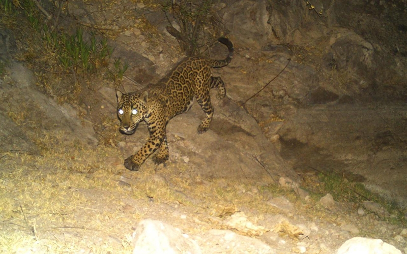 A jaguar moves through its habitat during the night