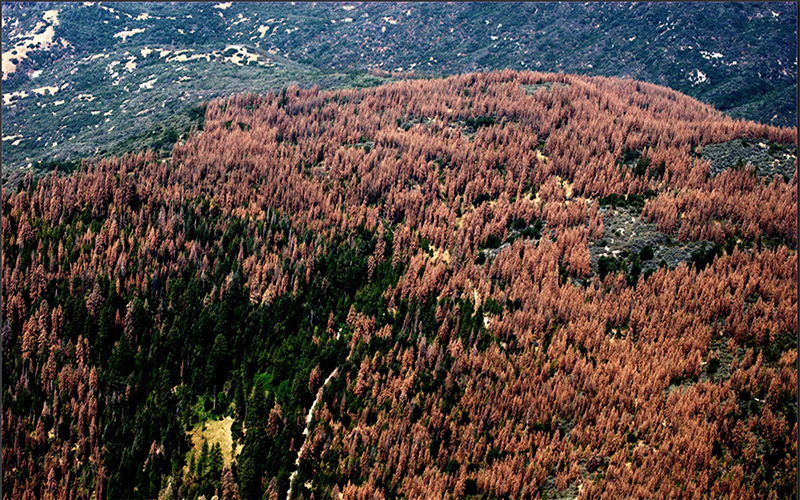 Trees in California are dying at unusually high rates