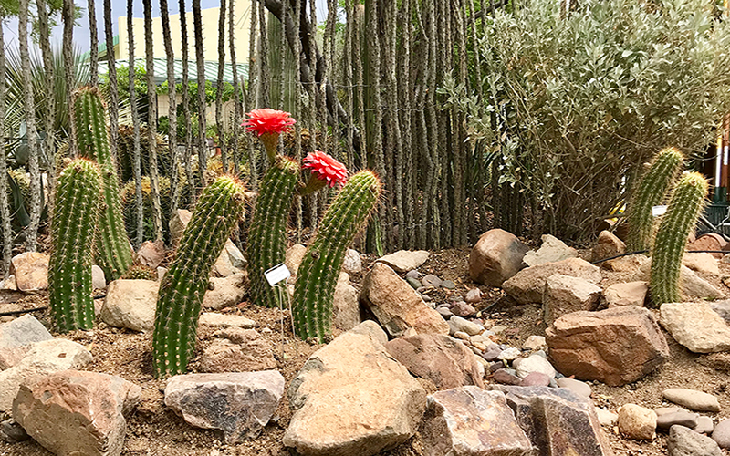 Cacti in a garden sprout among the dirt and even grow flowers