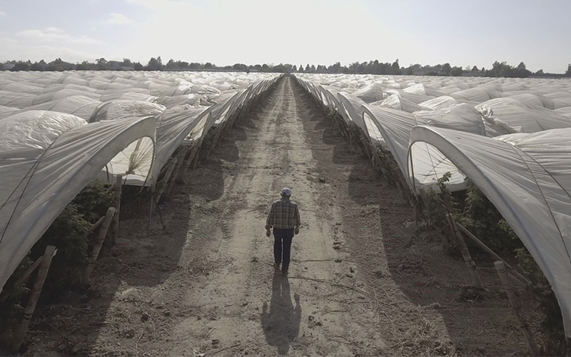 Farmer walks between rows of strawberry crops covered by tents